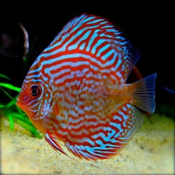 SYMPHYSODON A. SSP RED TURQUOISE