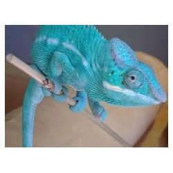 "Furcifer pardalis ""Nosy Be"" - TRUE BLUE pareja"
