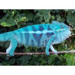 "Furcifer pardalis ""Ambanja Blue"" pareja"