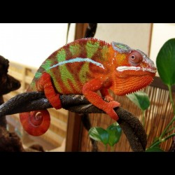 "Furcifer pardalis ""Ambilobe-RED-Bar"" pareja"