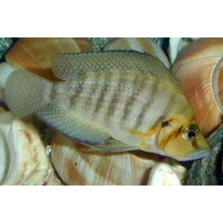 ALTOLAMPROLOGUS COMPRESSICEPS GOLD HEAD