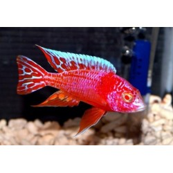 AULONOCARA STRAWBERRY RED EYE SUPER COLOR