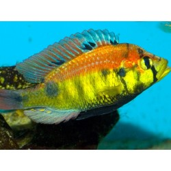 HAPLOCHROMIS YELLOW BELLY