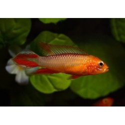 APISTOGRAMMA AGASSIZII SUPER FIRE RED