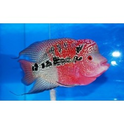 CICHLASOMA SP. FLOWERHORN red melon