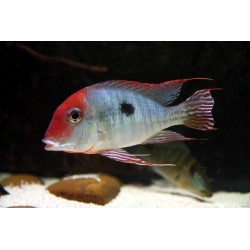 GEOPHAGUS SP. TAPAJOS RED HEAD
