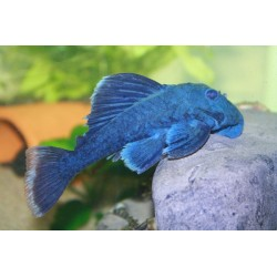 ANCISTRINAE BLUE FIN PANAQUE L239 w
