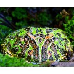 Ceratophrys ornata cb