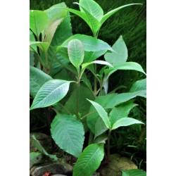 Hygrophila Cherry leaf