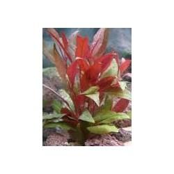 Hygrophila red