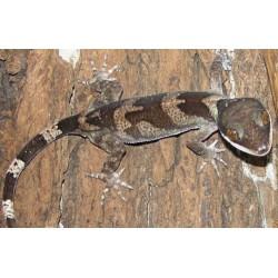 Cyrtodactylus irianjayaensis