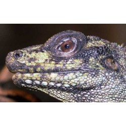 Hydrosaurus amboinensis