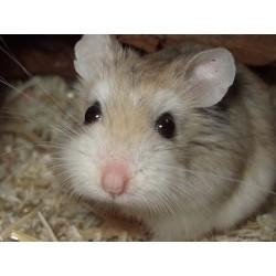 Hamster enano roborowski