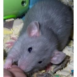 Rata azul