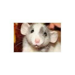 Rata dumbo