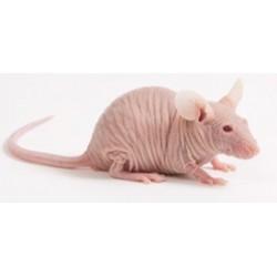 Rata calva