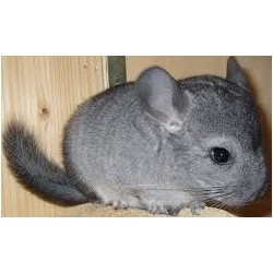 Chinchilla standard