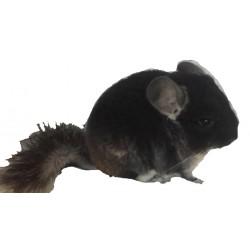 Chinchilla black