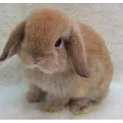 Conejo enano lop