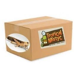 caja 100 langostas adultas