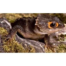 Triblonotus gracilis (Indoneisa)