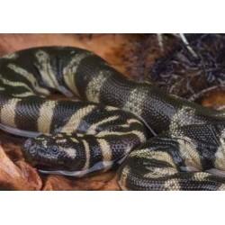 Chersydrus granulatus (Indonesia)