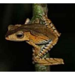 Polypedates otilophus