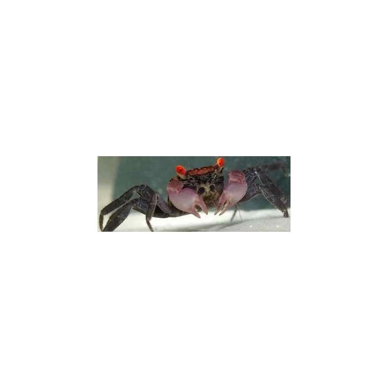 GEOSESARMA SP. Vampir Crab