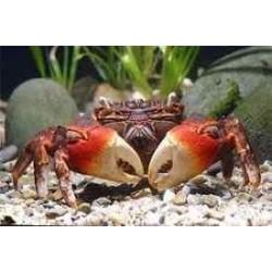 NEOSESSARMATIUM MEINERTI Spider Crab