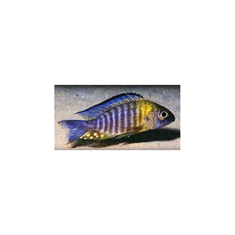 AULONOCARA SP. YELLOWHEAD