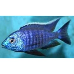 COPADICHROMIS SP. NEW BLUE NEON