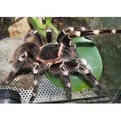 Acantrhoscurria geniculata