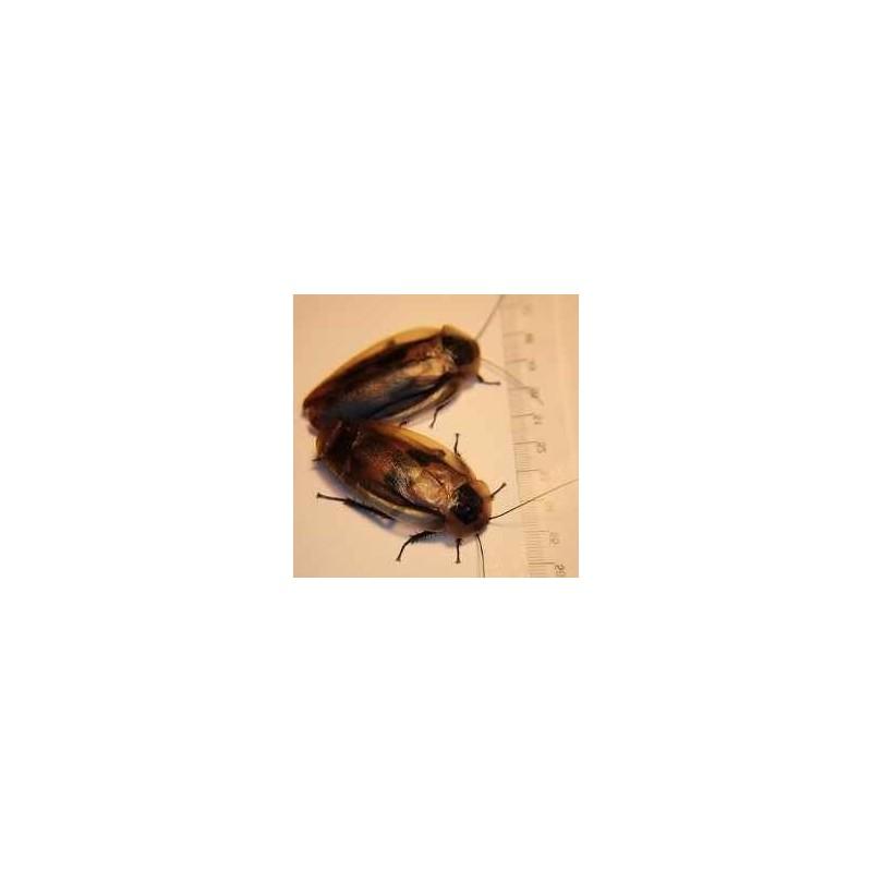 Ración Blaberus craniifer