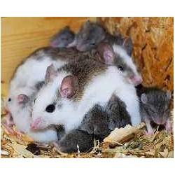 Ratón de Benin