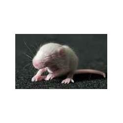Pinkie de ratón- benin