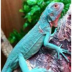Iguana iguana BLUE