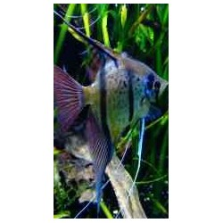 PTEROPHYLLUM SCALARE RIO NANAY spotted