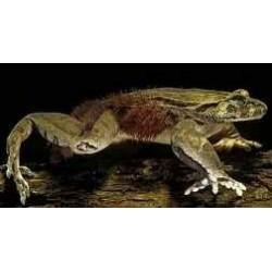 Trichobatrachus robustus