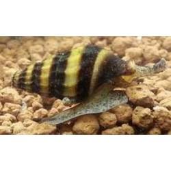 CLEA/ANENTOME  HELENA Canibal Snail