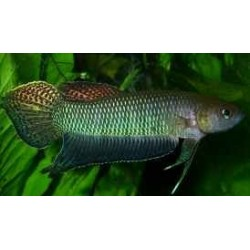 BETTA BELLICA imp w