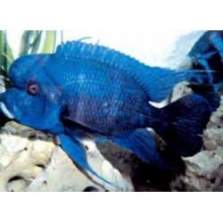 CYPHOTILAPIA FRONTOSA MPIMBWE BLUE