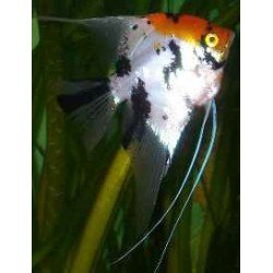 PTEROPHYLLUM SCALARE ORANGE HEAD
