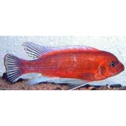 LABEOTROPHEUS TREWAVASAE RED