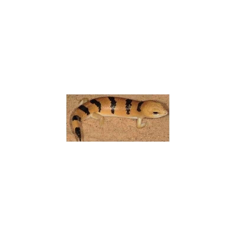 Scincopus fasciatus