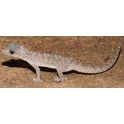 Hemidactylus brooki