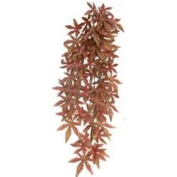 Abutilon roja