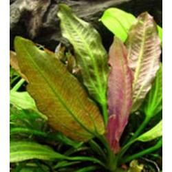 Echinodorus oriental