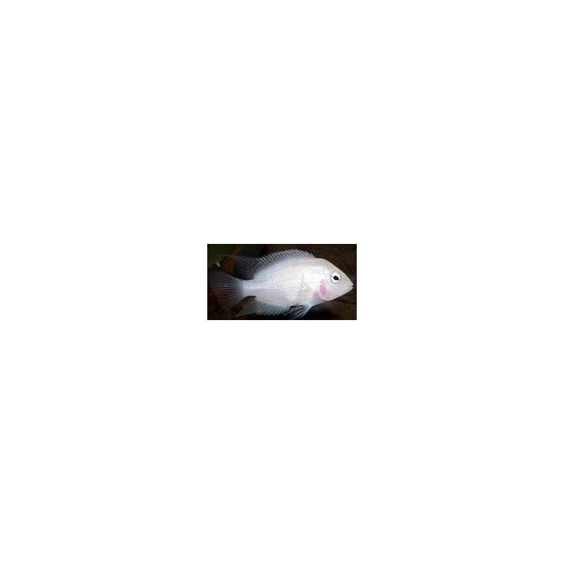 CICHLASOMA/AMATITLANIA NIGR.PARROT SNOW WHITE