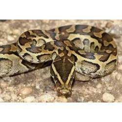 Python sebae