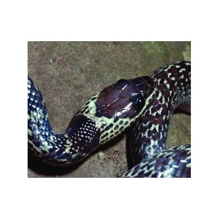 Lycodon capucinus